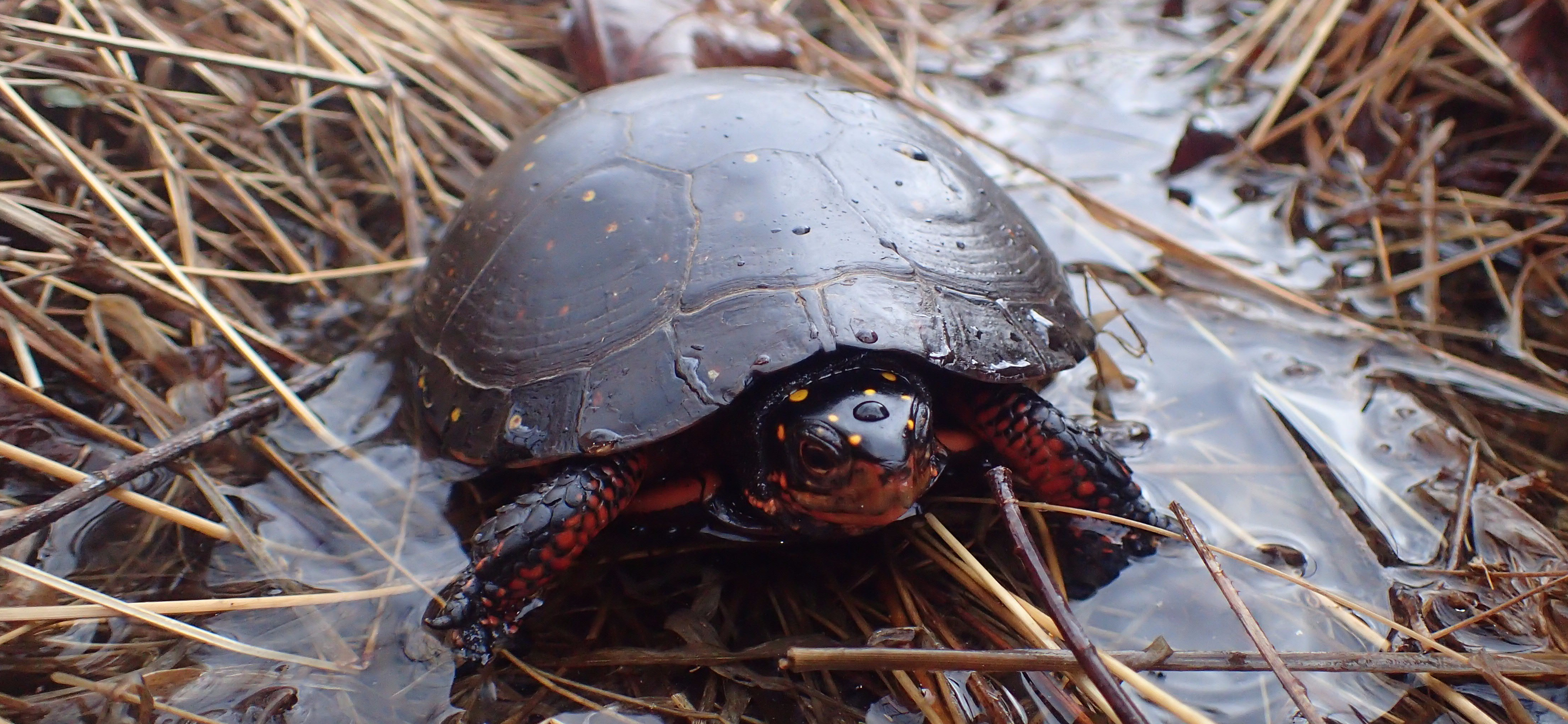 Spotting Spotted Turtles In West Virginia West Virginia Division Of Natural Resources