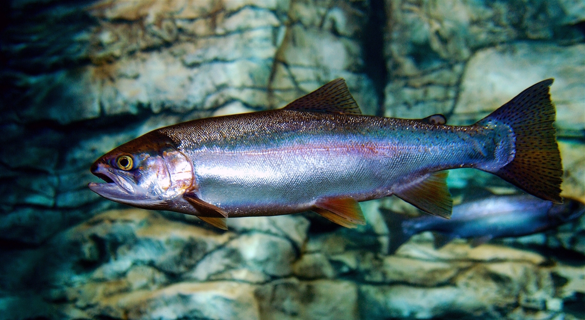 west virginia division of natural resources special trout